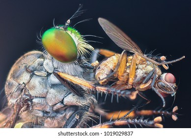 Extreme shot of robber fly and prey