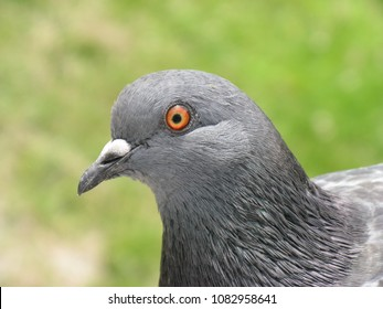 Extremely close up pigeon portrait, showing eye, feathers and beak on natural green background.