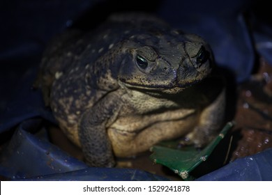 extremely fat and huge cane toad frog