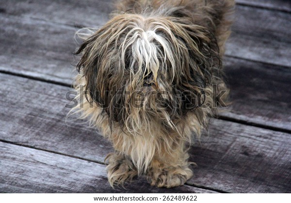 Extremely Hairy and Dirty Little Dog Stands at Dark Wooden Floor