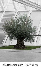 Extremely old olive tree surrounded by modern architecture bw green