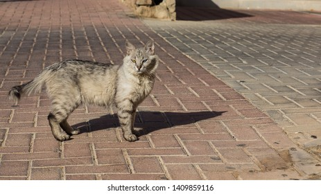 extremely photogenic street cat portrait with heterochromia different colors of eyes looking at camera on urban paved road surface, wallpaper pattern photography with empty copy space for text