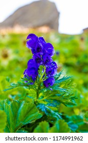 an extremely poisonous plant in the Alps (Aconitum napellus)