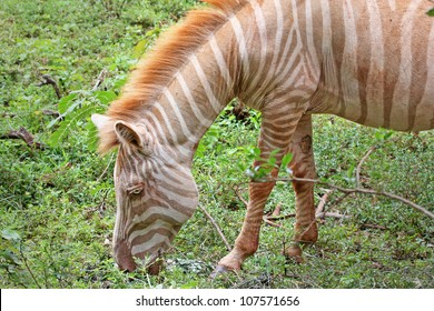 An Extremely RARE Albino Plains Zebra (Equus quagga) in Kenya, Africa. Albinism is a lack of melanin pigment, rendering the black stripes an orange or brown colour.