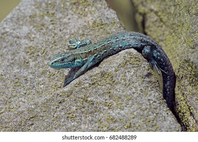 Extremely rare blue colour morph Common Lizard/Common Lizard/Viviparous Lizard (Zootoca vivipara)