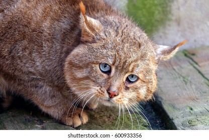 Extremely rare Chinese Desert Cat(Felis bieti)