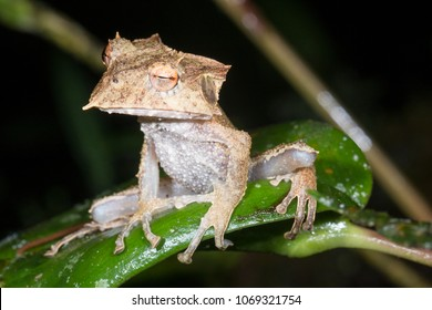 The extremely rare and endangered Ecuador Horned Treefrog (Hemiphractus bubalus). Roosting at night In its natural habitat the rainforest understory, in the Cordillera del Condor, southern Ecuador.