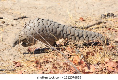Extremely rare sighting of a wild African Pangolin while on safari in Hwange National Park, Zimbabwe. Pangolins are trafficked for their scales for the Asian market