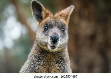 An extremely surprised looking wallaby from Kangaroo Island