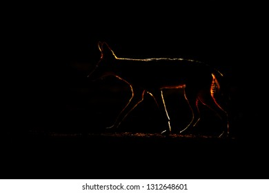 Extremely underexposed silhouette of Jackal and evening sunlight. Black-Backed Jackal, Tanzania, South Africa. Beautiful wildlife scene from Africa with nice sun light.