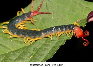 The extremely venomous Peruvian Giant Yellow-leg or Amazonian Giant Centipede (Scolopendra gigantea). These eat everything from insects to birds! Isolated on black, space for text. (Peruvian Amazon)
