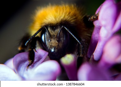 Extrene close up of a Bumble Bee collecting nectar and speading pollen from a beautiful purple Lilac flower in Spring