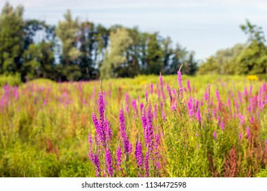 Exuberant flowering Purple Loosestrife and other wildflowers in the foreground of a nature reserve with various wild plants. It is a sunny morning in the Dutch summer season.