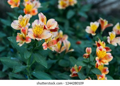 The exuberant orange Alstroemeria is easy going and grows in gardens developed to show strong and pervasive.orange flowers, lily alstroemeria grow in the garden