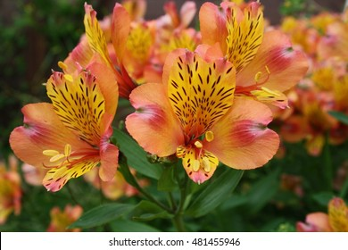 The exuberant orange Alstroemeria is easy going and grows in gardens developed to show strong and pervasive