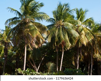 Exuberant palms against perfect blue sky in the caribbean
