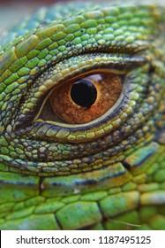 eye animals iguana