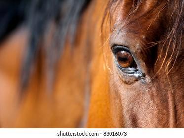 Eye of Arabian bay horse