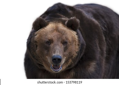 Eye to eye with a brown bear, isolated on white background. The head of a grizzly, the most dangerous and biggest beast of the world. Wild beauty of the cute and cuddly animal. Charm of the wildlife