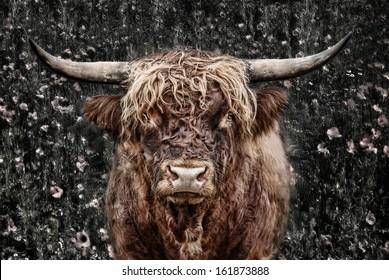 the eye of the bull, highland cattle