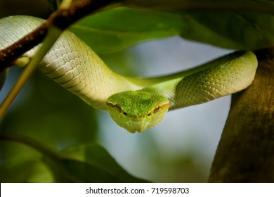 eye to eye close-up of Bornean Keeled Green Pit Viper in Bako national park Borneo, Green Pit Viper looking into the camera,Tropidolaemus subannulatus