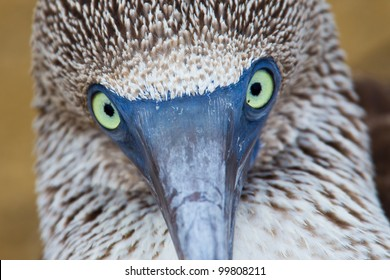 Eye contact with a blue-footed booby, Galapagos Islands, Ecuador