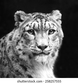 Eye contact with excellent snow leopard, isolated on black background. Adorable big cat, but dangerous raptor. Picturesque portrait of animal. Amazing beauty of wildlife in black and white image.