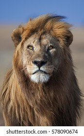 Eye contact with a golden-maned lion, Serengeti National Park, Tanzania.