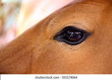 The Eye Of Cow
