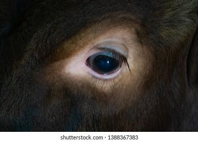 Eye of a cow on a small ecofriendly farm in France