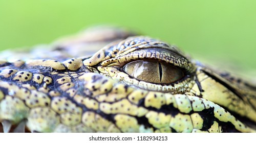 the eye of crocodile