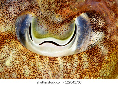Eye of a cuttlefish (Sepia officinalis) in Sesimbra, Portugal