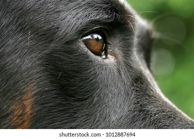 Eye dogs with reflection. Animal visual perception, macro photography.