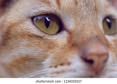 The eye of domestic orange cat.