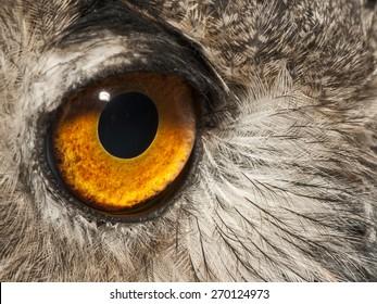 Eye of eagle owll (Bubo bubo) Strigidae family.