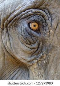 Eye of an elephant (Elephas maximus)