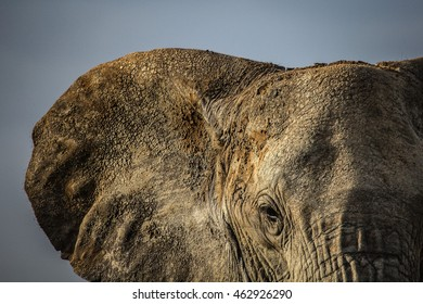 Eye of the Elephant A large, mud covered bull elephant stares back at the camera Tarangire National Park, Tanzania.