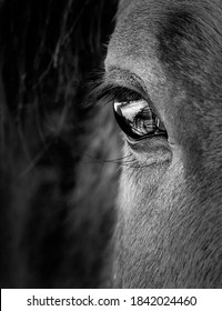Eye and face of horse in black and white