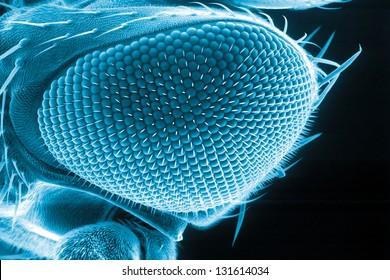 Eye of a fruit fly, Drosophila melanogaster, scanning electron microscopy