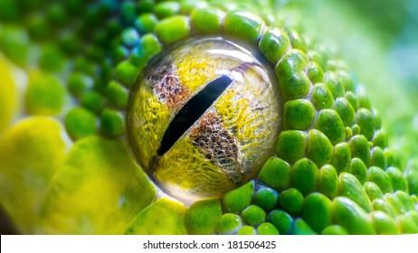 Eye of a green tree python (Morelia viridis) snake