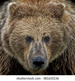Eye to eye with a grizzly bear