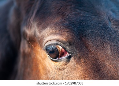 Eye of a horse, close-up. The breed is an English racehorse. Natural background.
