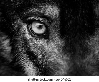 Eye of iberian wolf (Canis lupus signatus). Fearless, free, wild, ambush and willpower concepts.