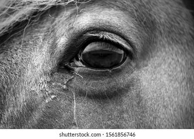 The eye of an Icelandic horse