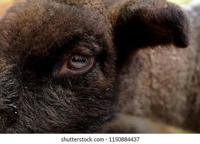 Eye of a lamb at a sheep farm
