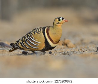 Eye level shot of Painted Sandgrouse male against blur clear  background