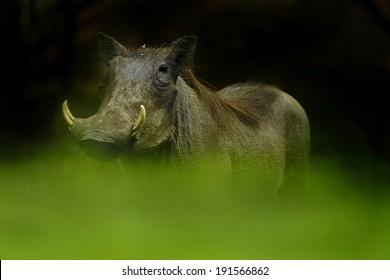 Eye Level warthog