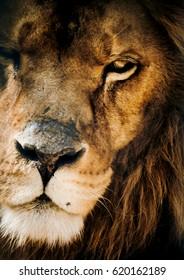 Eye lion