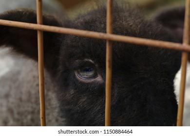Eye of a locked in lamb at a sheep farm