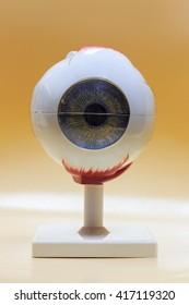 eye models anatomy